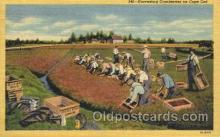 far001237 - Harvesting Cranberries Farming, Farm, Farmer, Postcard Postcards