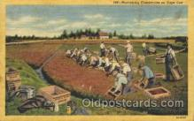 far001238 - Harvesting Cranberries Farming, Farm, Farmer, Postcard Postcards