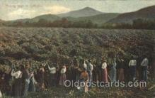 far001239 - Picking hops in Calofornia Farming, Farm, Farmer, Postcard Postcards