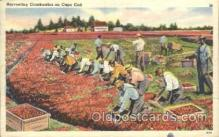 far001241 - Harvesting Cranberries Farming, Farm, Farmer, Postcard Postcards