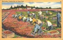 far001242 - Harvesting Cranberries Farming, Farm, Farmer, Postcard Postcards