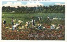 far001244 - Picking Cranberries Farming, Farm, Farmer, Postcard Postcards