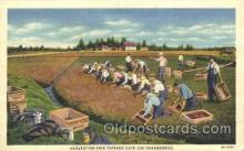 far001245 - Harvesting Cranberries Farming, Farm, Farmer, Postcard Postcards