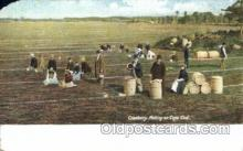 far001248 - Picking Cranberries Farming, Farm, Farmer, Postcard Postcards