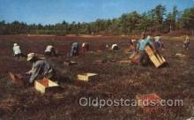 far001249 - Picking Cranberries Farming, Farm, Farmer, Postcard Postcards