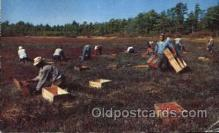 far001250 - Picking Cranberries Farming, Farm, Farmer, Postcard Postcards