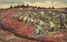 far001251 - Harvesting Cranberries Farming, Farm, Farmer, Postcard Postcards