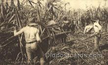 far001253 - Reaping Sugar Cane Farming, Farm, Farmer, Postcard Postcards
