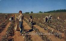 far001309 - Cotton Picker Farming Old Vintage Antique Postcard Post Card