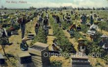 far001334 - Berry Pickers Farming Old Vintage Antique Postcard Post Card
