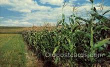 far001370 - Tall Corn Farming Old Vintage Antique Postcard Post Card