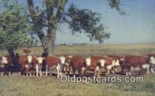 far001376 - White  Faced Herefords Farming Postcard Post Card
