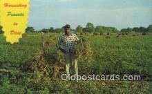 far001427 - Harvesting Peanuts Farming Postcard Post Card