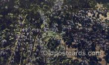 far001434 - California Prunes Farming Postcard Post Card