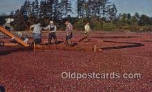 far001444 - Cranberry Harvest Farming Postcard Post Card