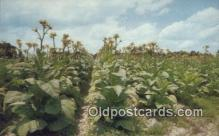 far001457 - Tobacco Land Farming Postcard Post Card