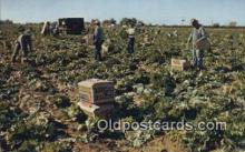 far001472 - Lettuce Harvest Farming Postcard Post Card