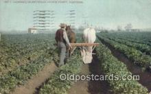 far001488 - Celery Field Farming Postcard Post Card
