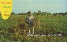 far001500 - Harvesting Peanuts Farming Postcard Post Card
