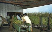 far001514 - Stringing Tobacco, Harvest Time Farming Postcard Post Card