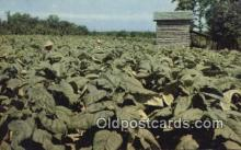 far001517 - Tobacco Farming Postcard Post Card