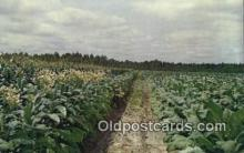 far001519 - Topping Tobacco Farming Postcard Post Card