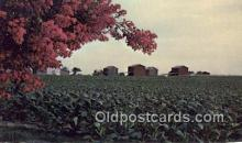 far001520 - Bright Leaf Tobacco Farming Postcard Post Card