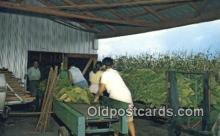 far001540 - Stringin Tobacco, Harvest Time Farming Postcard Post Card