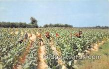 far001581 - Harvesting Tobacco  Postcards Post Cards Old Vintage Antique