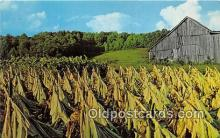 far001596 - Harvesting Tobacco  Postcards Post Cards Old Vintage Antique