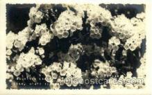 flr001103 - Mountain Laurel, Conn. State Flower Flower, Flowers Postcard Post Card