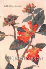Burchellia Capensis