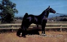 hor001311 - Champion Walking Horse Old Vintage Antique Postcard Post Card