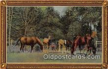 hor001398 - Thorobreds  Postcard Post Card