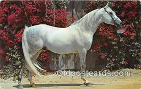 hor001505 - Purebred Arabian Stallion  Postcard Post Card