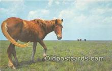 hor001546 - Wild Outer Banks Pony Ocracoke Island, North Carolina Postcard Post Card