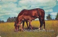 hor001569 - Virginia's Eastern Shore Chincoteague Ponies Postcard Post Card