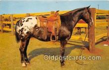 hor001625 - Grand Cahmion Appaloosa Gelding Color of JE Baker Postcard Post Card