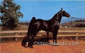hor001645 - Champion Walking Horse Photo by Joyce L Haynes Postcard Post Card