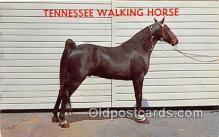 hor001682 - Tennessee Walking Horse Photo by Joyce L Haynes Postcard Post Card