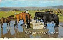 hor001713 - Dartmoor Ponies  Postcards Post Cards Old Vintage Antique