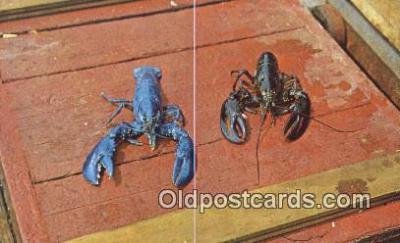 lob001033 - Live Maine Blue Lobster, one in a million  Postcard Post Card, Carte Postale, Cartolina Postale, Tarjets Postal,  Old Vintage Antique