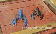 lob001033 - Live Maine Blue Lobster, one in a million  Postcard Post Card, Carte Postale, Cartolina Postale, Tarjets Postal,  Old Vintage Antique