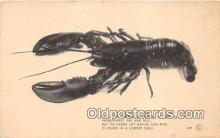 lob001055 - We'll Eat The Best, Lobster Shell  Postcard Post Card