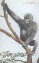 mky001010 - Gorilla New York USA Zoological Park, Monkey, Monkeys Postcard Postcards