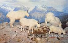 Rocky Mountain Goats, Museum of Natural History