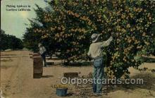 ocp001014 - Picking Apricots Southern, California, USA, Occupational Postcard Postcards