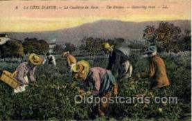 ocp001050 - Gathering Roses, Occupational Postcard Postcards