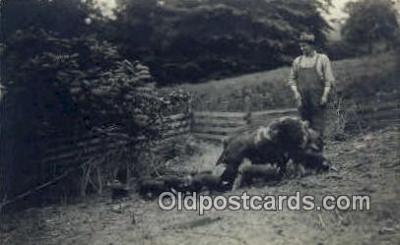 pig001019 - Pig, Pigs, Postcard Postcards