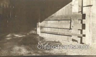 pig001020 - Pig, Pigs, Postcard Postcards